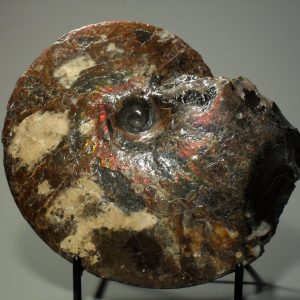 Ammonite fossil specimen – large Fossils ammonite fossil specimen
