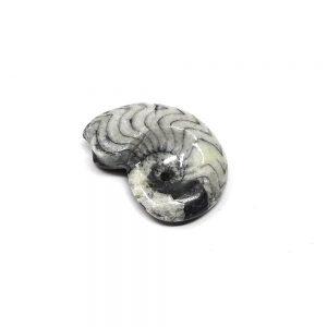 Polished Gonatite Fossils earth energy crystal