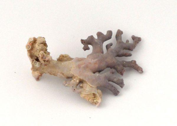 Precious Coral Specimen, Purple All Raw Crystals coral
