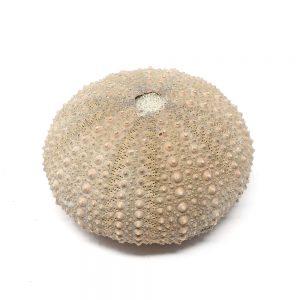 Sea Urchin Fossils fossil