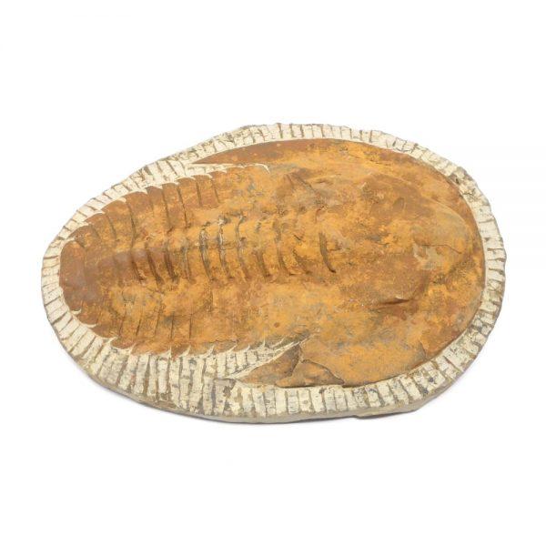 Cambropallas Trilobite Fossils cambropallas trilobite